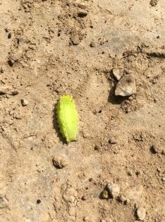 Nason slug moth caterpillar